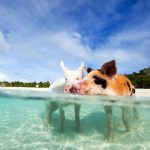 Swimming pigs, luxury yachts, luxury yacht charter