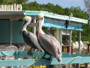Pelicans In The Florida Keys, boating charter