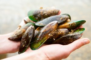 New Zealand Freshly Harvested Green Lipped Mussels www.njcharters.com