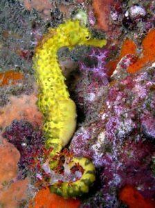 Andaman Sea Sea Horse www.njcharters.com