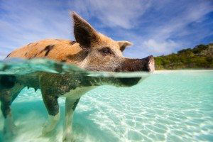 Feed-the-Swimming-Pigs-in-the-Exumas-Bahamas