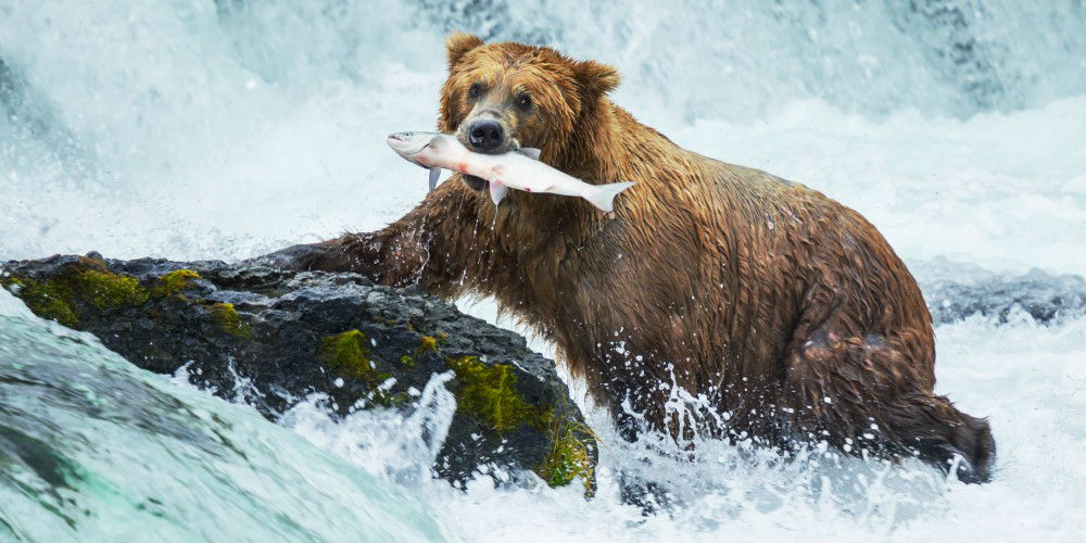 Watch the Bears fish for Dinner in Alaska