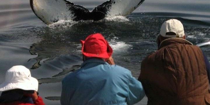 Watch pods of Humpback Whales Bubble Net Feed in Alaska www.njcharters.com