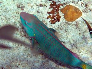 Beautiful Parrot Fish Thunderball Grotto Bahamas njcharters.com