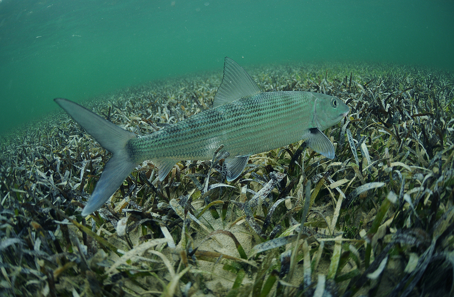 In its natural habitat a bonefish is swimming in the grass flats ocean