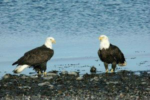 Bald Eagles Alaska www.njcharters.com