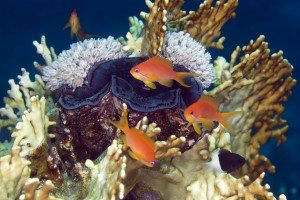 vGiant clam and anthias in de Red Sea.