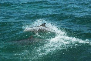 Bottlenose Dolphins jumping in Gulf of Maine