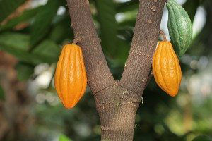 Cocoa cocao tree with theobroma pods for background