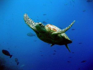 Green turtle going to the surface for some air.
