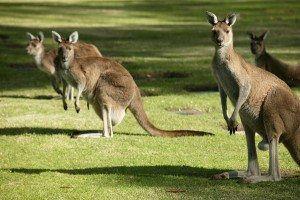 Australian Western Grey Kangaroos