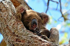 Koala Sleep On A Tree