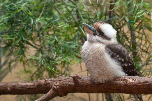 A curious Kookaburra perched on a branch.