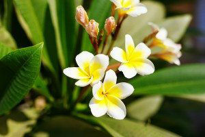 Beautiful plumeria flowers blossom in the frangipani tree. White and yellow. Selective focus.