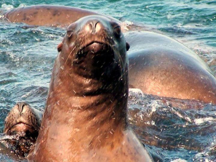 Sea Lions in Alaska www.njcharters.com