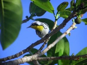 dominica-yellow-throated-warbler-www-njcharters-com
