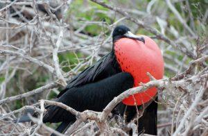 Galapagos Male Frigate Bird