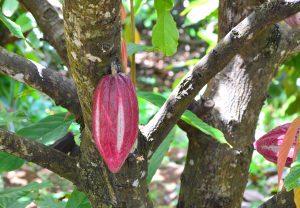 Cocoa Fruit growing on the tree, Grenada