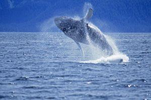 Humpback whale breach Frederick Sound SW Alaska njcharters.com
