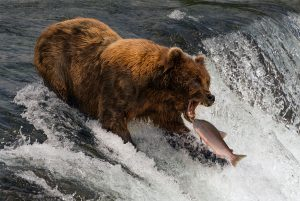 Alaska Brown Bear fishing for Salmon www.njcharters.com.jpg