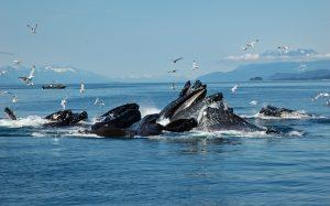 Humpback whales, Alaska, yacht charter