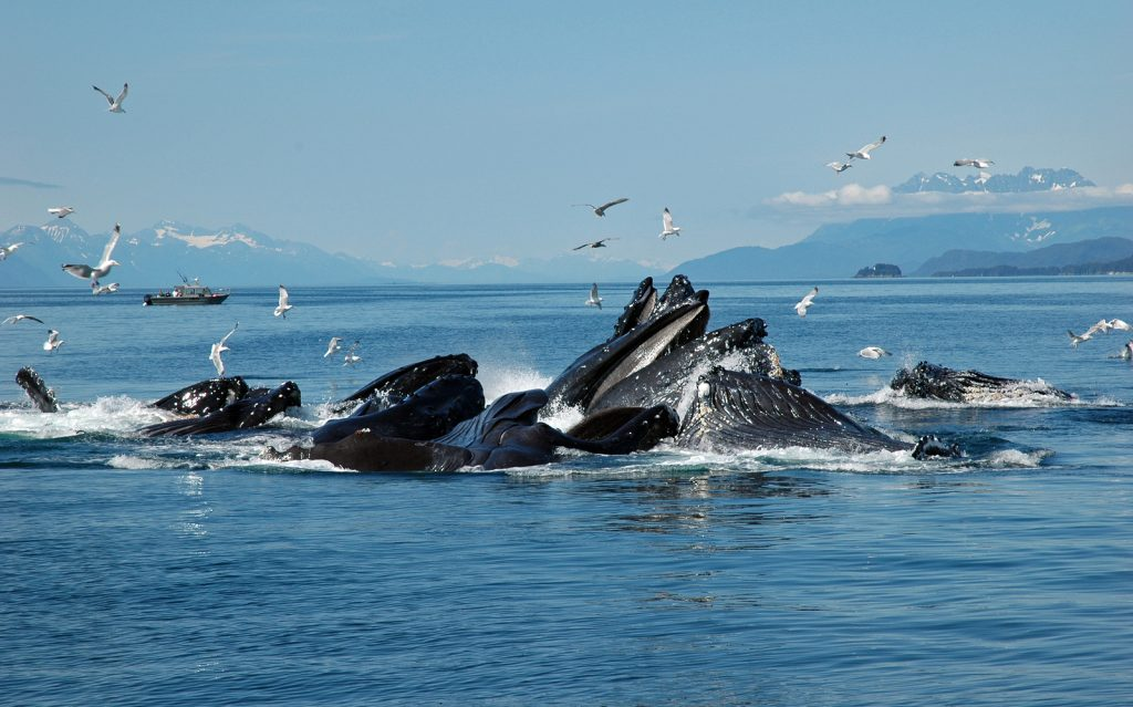 About a dozen humpback whales are feeding on herring near Juneau, Alaska