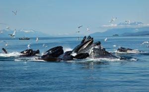 About a dozen humpback whales are feeding on herring near Juneau, Alaska