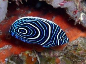 Andaman Sea, Juvenile Fish