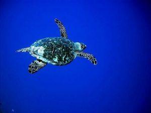 Sea Turtle Belize Scuba