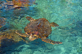 Bahamas, Sea Turtle Swimming www.njcharters.com
