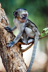 Baby Green Vervet Monkey