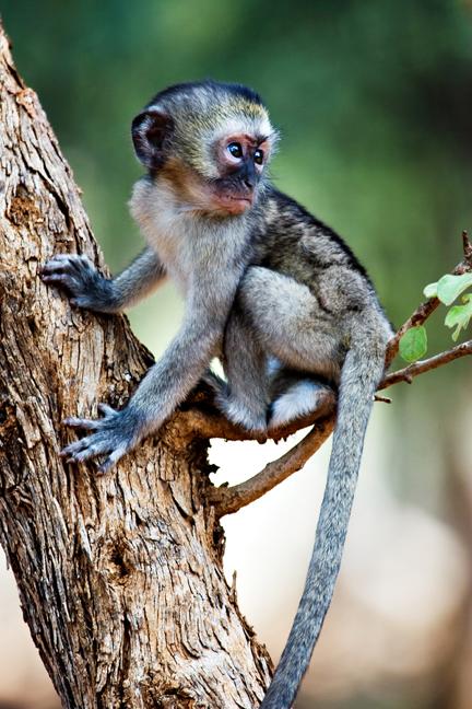 Baby Green Vervet Monkey