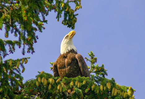 Bald Eagle Alaska njcharters.com