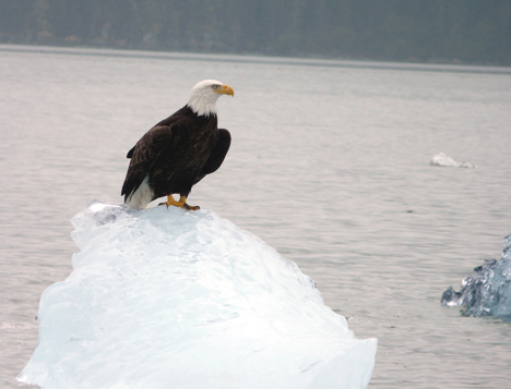 Bald Eagle Perched on an Ice Floe in Tracy Arm njcharters.com