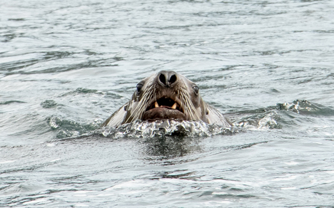 Harbor Seal in Sitka Harbor njcharters.com