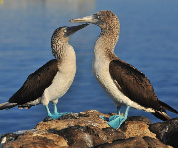 Blue footed Boobies in the Galapagos www.njcharters.com