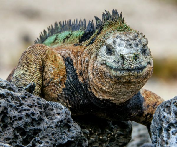 Galapagos Land Iguana www.njcharters.com