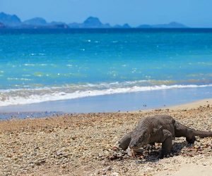 Komodo-Dragon-Indonesia-www.njcharters.com