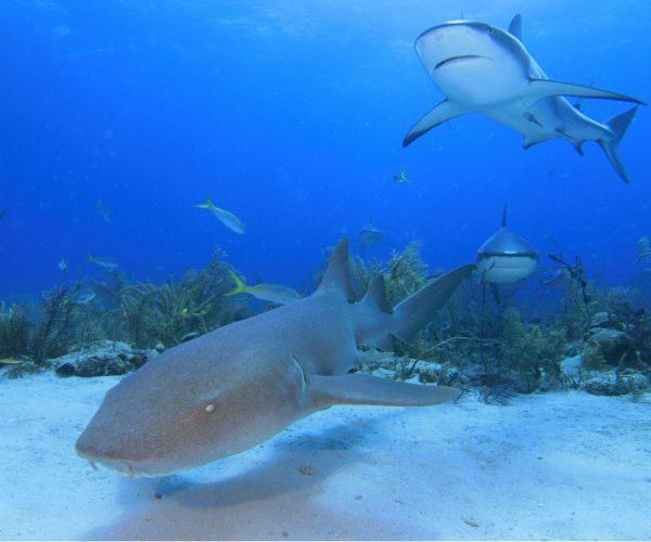 Nurse-Shark-and-Reef-Sharks-Cenderawasih-Bay-www.njcharters