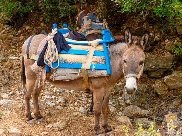 Amorgos Island Donkey Greece njcharters.com