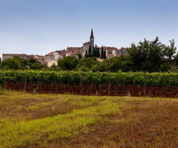 Croatia Istria Vineyards