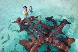 Nurse Sharks at Compass Cay Harbor
