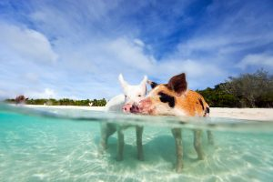 Swimming Pigs Big Major Cay Bahamas yacht charter