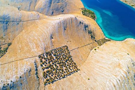 Olive Grove on an Island in the Kornati Archipelago Croatia njcharters.com