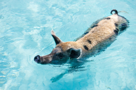 Swimming Pigs at Big Major Cay Bahamas yacht charter