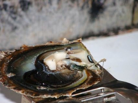 Black Pearl Oyster