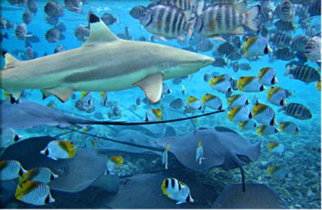 Blacktip reef shark cruising Bora Bora lagoon with angelfish and rays