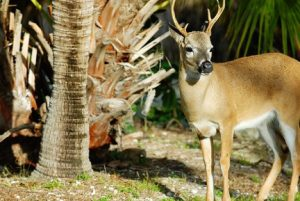 TIny Key Deer Florida Keys njcharters.com