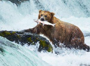 Alaskan Brown Bear Fishing for Salmon alaska yacht charter njcharters.com