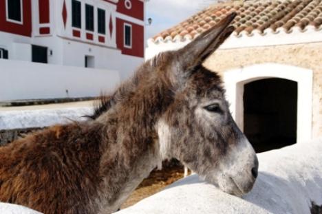 Mallorcan Donkey Balearic Islands Spain yacht charer njcharters.com